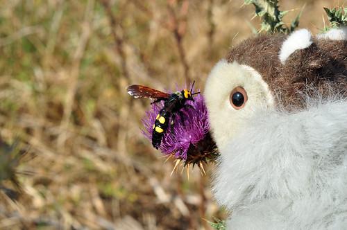 Gelbstirnige Dolchwespe Megascolia maculata Karla Kunstwadl Garrigue Kratzdistel Naturfotografie Brigitte Stolle