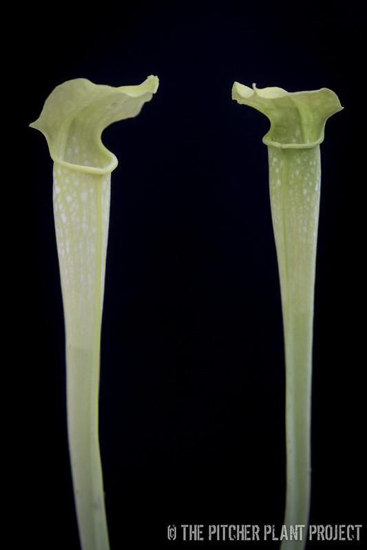 Sarracenia alata AF x Green Monster