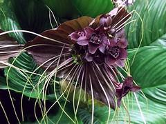 Black Bat Flower (Tacca chantrieri)