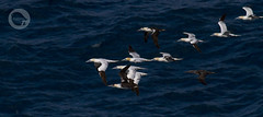 Flock of Gannets in Cape St Vicent