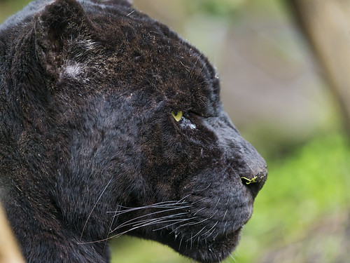 Profile of Polo by Tambako the Jaguar