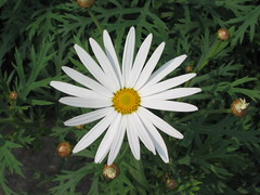情人菊(木筒蒿) Argyranthemum frutescens [香港嘉道理農場 Kadoorie Farm, Hong Kong]