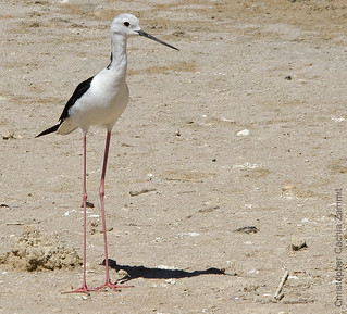 Black Winged Stilt (Fra Servjent) - Adult