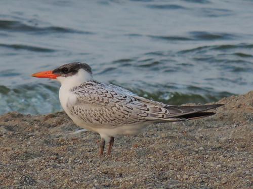 Caspian Tern Juvenile