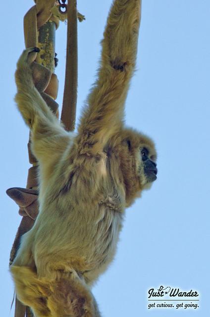 White-Handed Gibbons