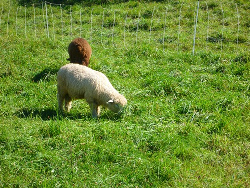 D2R2: Sheep, unconcerned by riders