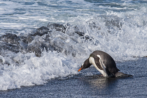 Gentoo Penguin, Gold Harbor, South Georgia Island by bfryxell