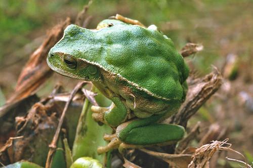 <i>Gastrotheca plumbea</i> Rana marsupial plomiza ♀con crías