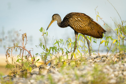 usa bird water landscape florida limp centralflorida limpkin aramusguarauna swampmarsh circlebbarreserve 28limpkins