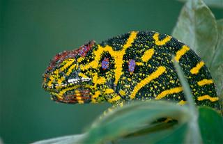 Lesser Chameleon (Furcifer minor) female (captive specimen)
