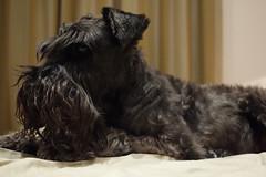 dog breed, animal, dog, schnoodle, pet, standard schnauzer, vulnerable native breeds, schnauzer, cesky terrier, miniature schnauzer, affenpinscher, carnivoran, scottish terrier, terrier,