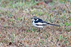 african pied wagtail 2
