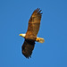 Eagle over Union Bay 2013-10-27 [16-29-16]