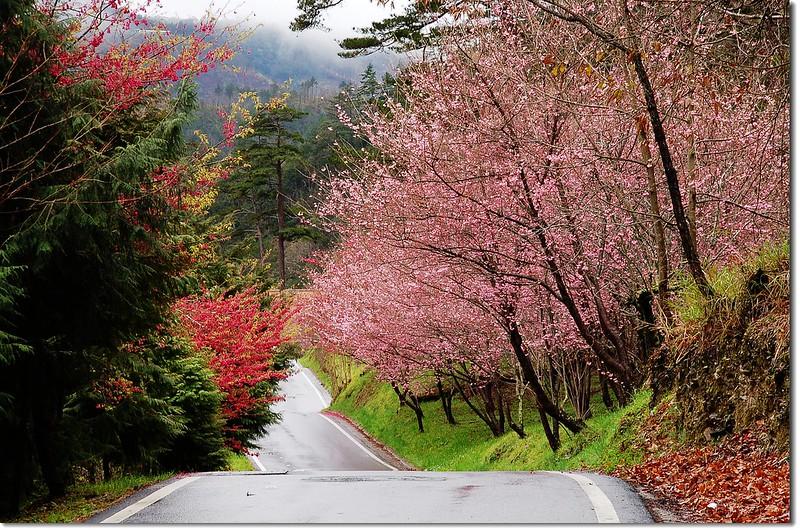 武陵花季 11