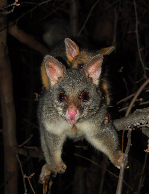 possums_mother_and_child-14