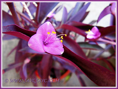 Flowers of Tradescantia pallida 'Purpurea' (Purple Queen, Purple Secretia, Wandering Jew), June 6 2013