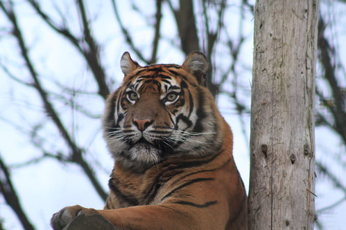 Tiger 1 - Chester Zoo -