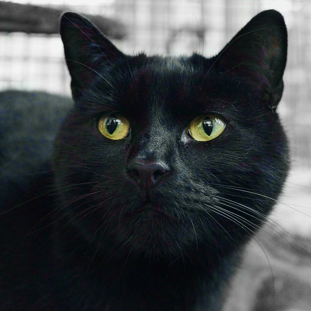 Adopted Black Cat Pound Sudbury Azilda