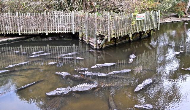 gator pond - st. augustine alligator farm