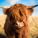 Hamish the Highland Cow by Lyle McCalmont