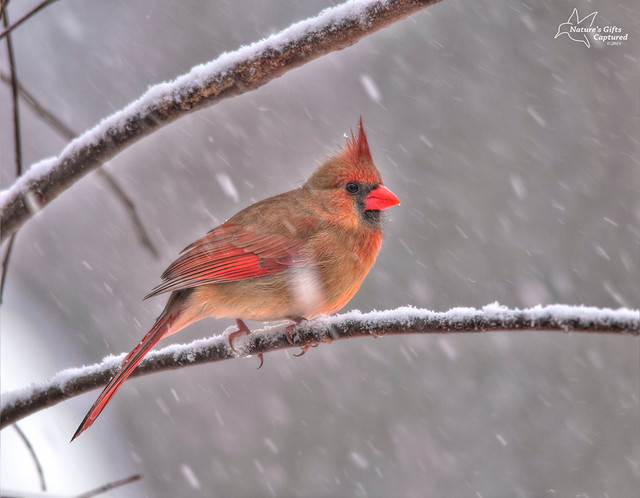 Female Northern Cardinal Snow Storm