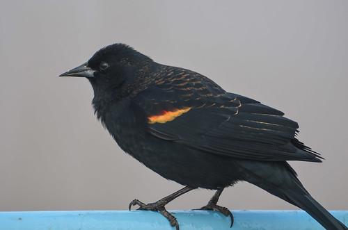 <p><i>Agelaius phoeniceus</i>, Icteridae<br /> George C. Reifel Migratory Bird Sanctuary, Delta, British Columbia, Canada<br /> Nikon D5100, 70-300 mm f/4.5-5.6<br /> January 24, 2014</p>