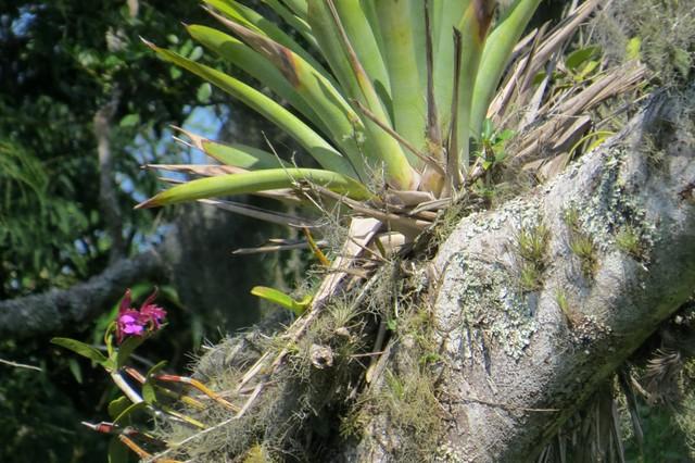 Cattleya tigrina A.Rich. - in situ