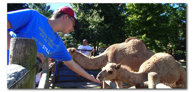 feed the camels at Grant's farm