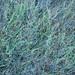 Grass II