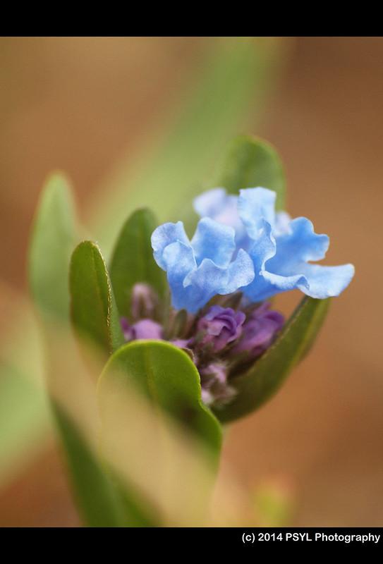 Short-styled Bluebell (Mertensia brevistyla)