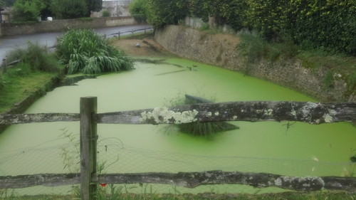 Ducks in pea-green soup