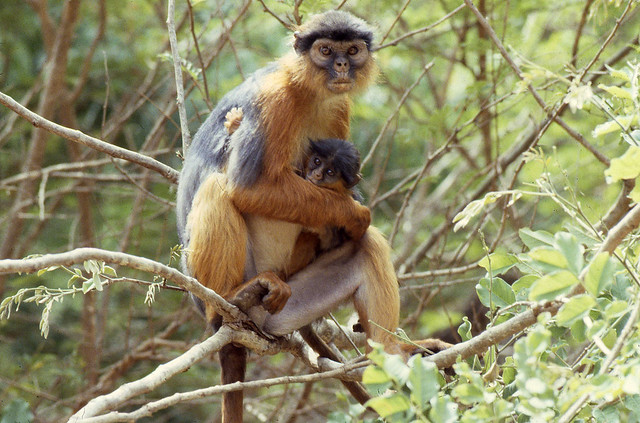 Female colobus monkey with infant