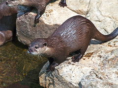 Memphis Zoo 09-03-2009 - Small Clawed Asian Otter 33