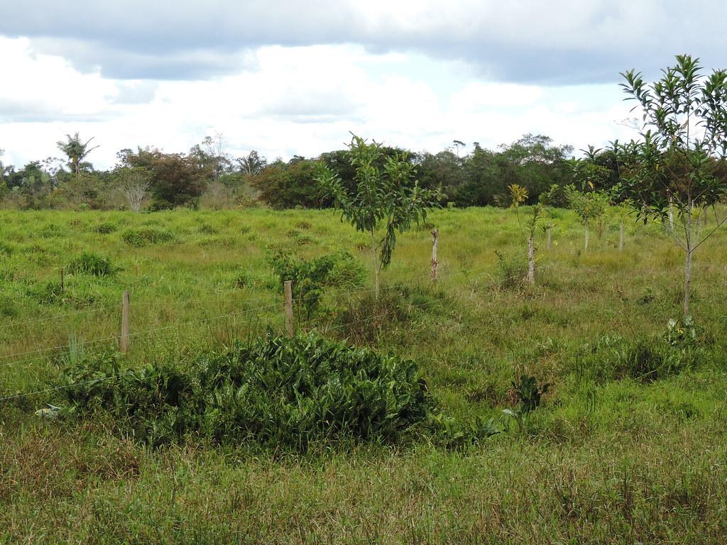 Sistema silvopastoril de árboles en franjas en fase de establecimiento