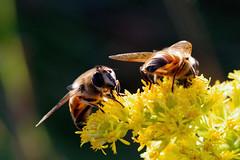 Tranverse Flower Flies
