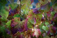Vignes, raisins, paysages vinicoles