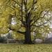 Fall comes to UVA Grounds Pratt-Gingko by rstillings