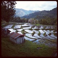 Rice #paddies