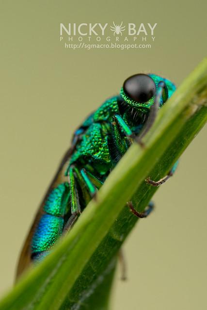 Cuckoo Wasp (Chrysididae) - DSC_9939