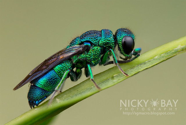 Cuckoo Wasp (Chrysididae) - DSC_9871