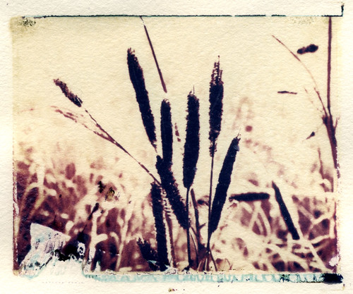 Cattails (Polaroid transfer) by Hilary (curioush)