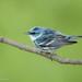 Cerulean Warbler by Luis Villablanca
