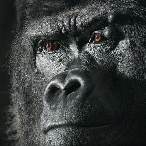 Tim Flach gorilla ape