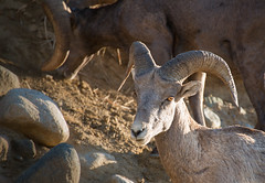 animal, sheep, argali, mammal, horn, barbary sheep, goats, domestic goat, fauna, bighorn, wildlife,