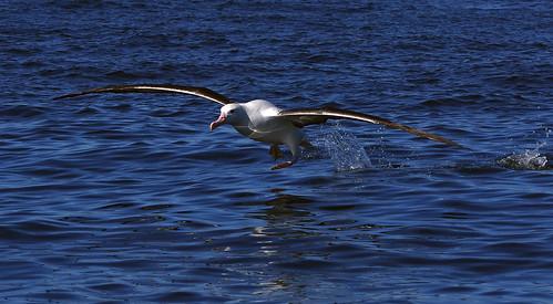 Wandering albatross (Diomedea antipodensis ) walking on water