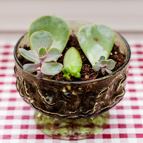 Succulent leaf cuttings in glass dish