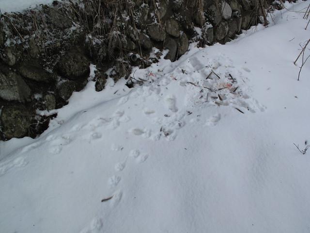 タヌキが食べたヒヨドリの残骸.足跡だけでなく,食べ方で猛禽類ではなくほ乳類が食べたことがわかるそう.