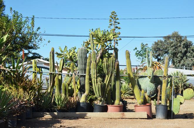 cactus shopping