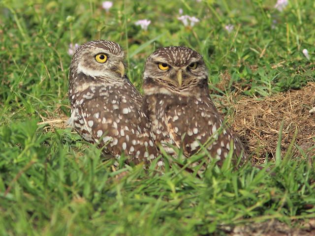 Burrowing Owls 03-20131114