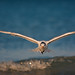 Royal Tern in Flight by Photomatt28